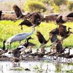 A small flock of abundant waterbirds that teem to our remote Arnhem Land lagoons – Magpie Geese, 2 types of Whistling ducks, Brolgas, Jacanas, shown above – on your personal boat trip.