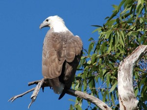 A majestic sea eagle, seen perching on the lagoons in Arnhem Land.