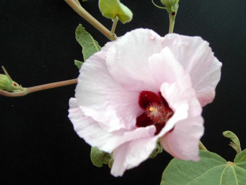 Sturt Rose
