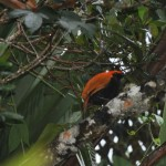 The Crested Bird of Paradise, one of PNG's rarest, seen near our Highlands Lodge.