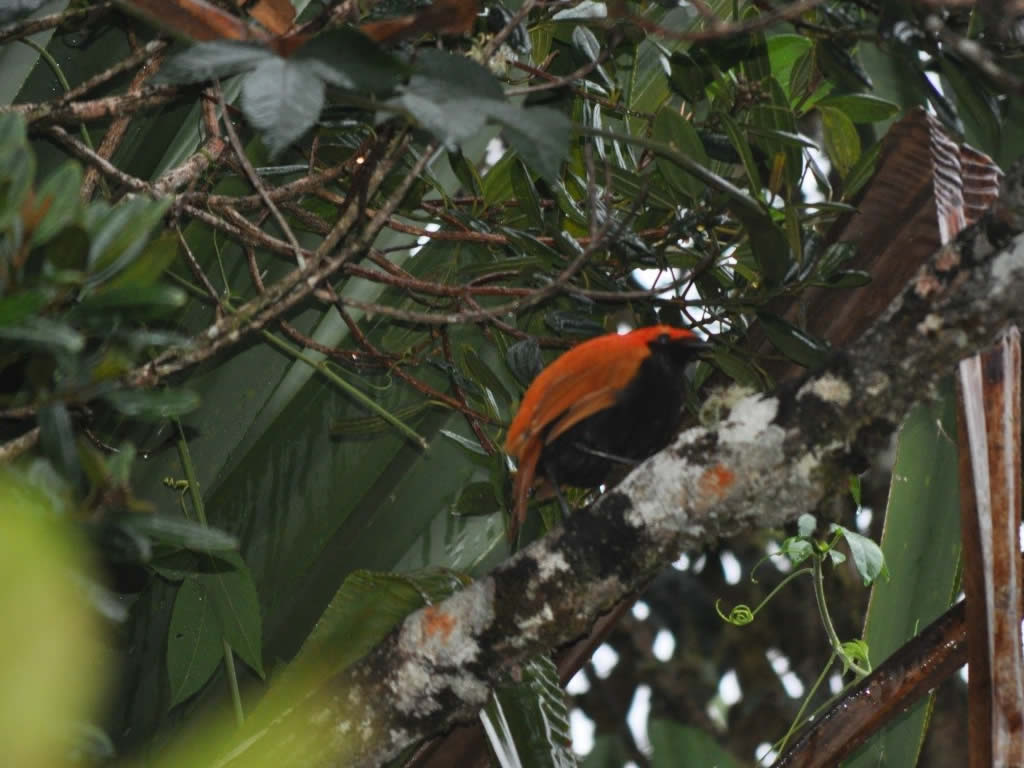 Crested Bird of Paradise