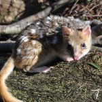 The very agile Southern Spotted Quoll, Cradle Mountain .