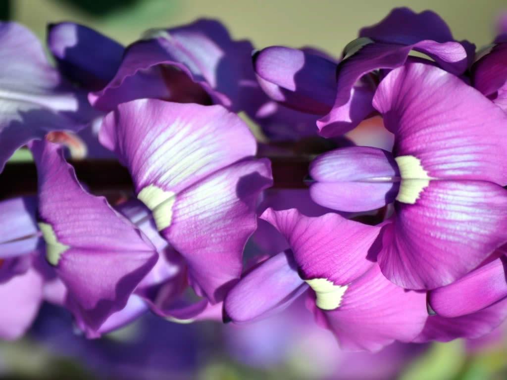 Swainsonia Pea Flower