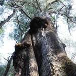 A huge, ancient gum tree (eucalyptus obliqua), the tallest in Tasmania, in the Tarkine Wilderness.