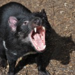 """""""Hi there,…I'm not ferocious – just yawning"""" - Young Tassie devil."""