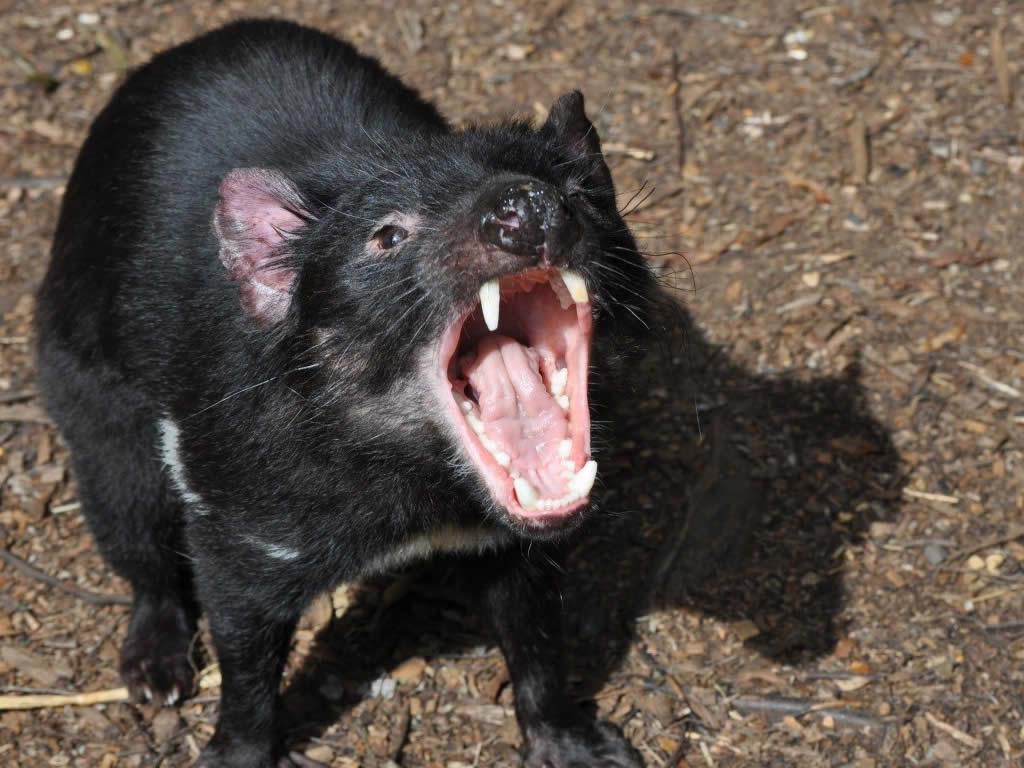 Yawning Tassie Devil